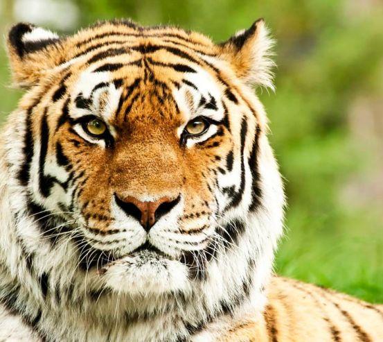 Фотообои Пристальный взгляд тигра 0431