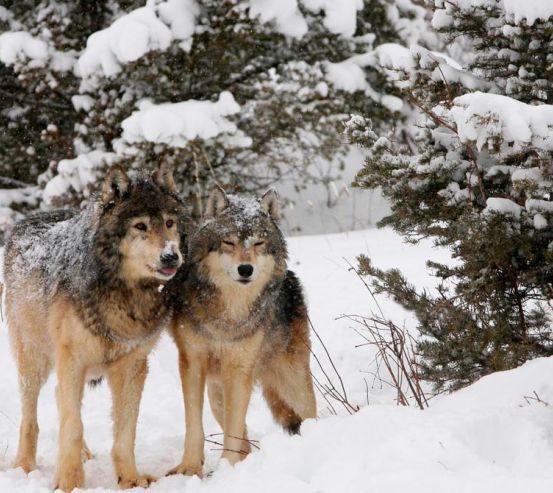 Фотообои Волки в снегу 13046