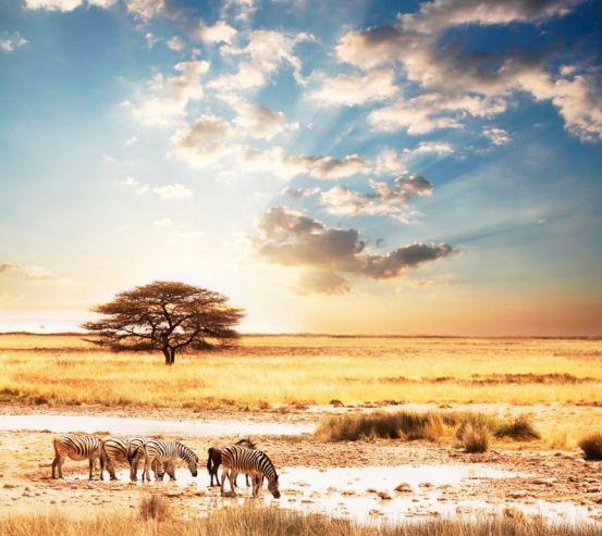 Фотообои Зебры в пустыне 3235
