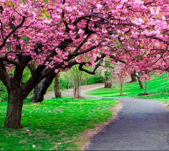 Фотообои Цветущие вишни 0859