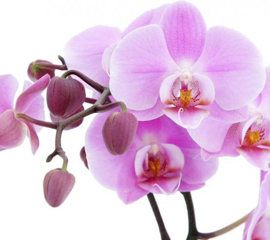 Фотообои сиреневая орхидея 20307