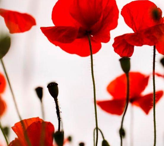 Фотообои Маки полевые красные 11822
