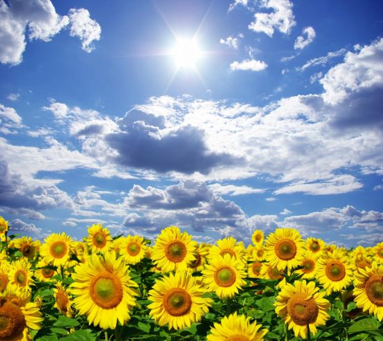 Фотообои подсолнухи, небо и солнце 20312