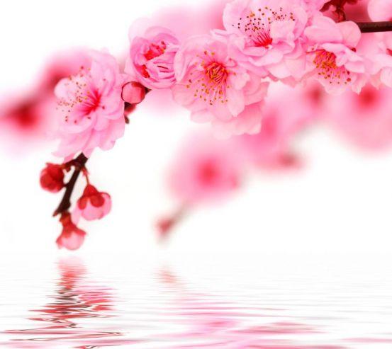 Фотообои Вишня в цвету 130