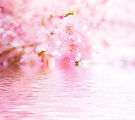 Фотообои Цветущая вишня 1308