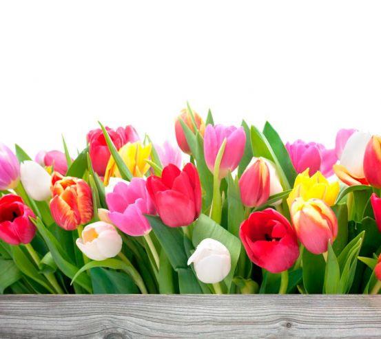 Фотообои Тюльпаны 13372