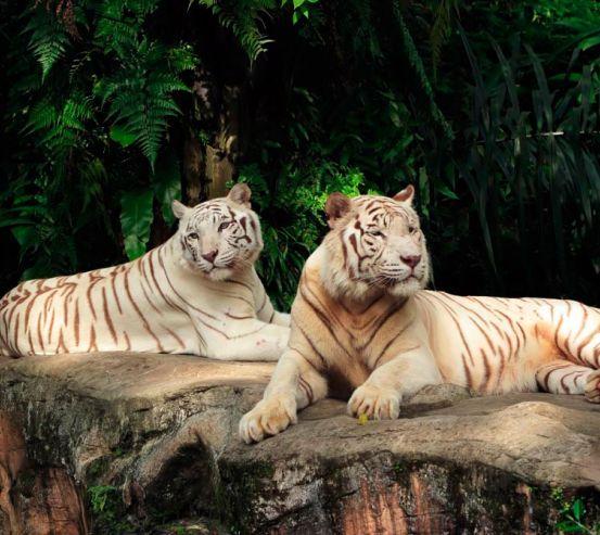 Фотообои Семейство белых тигров 10688