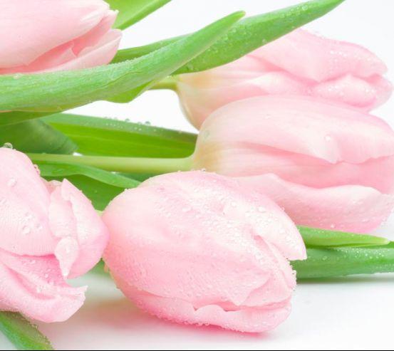 Фотообои Тюльпаны розовые 9979