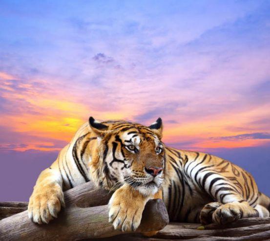 Фотообои тигр 27200