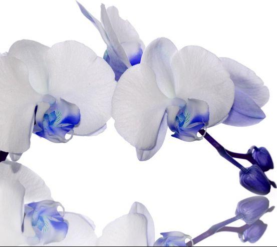 Фотообои орхидеи белые с синим 20904
