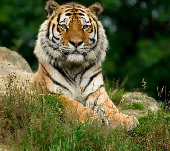 Фотообои Величественный тигр 7045