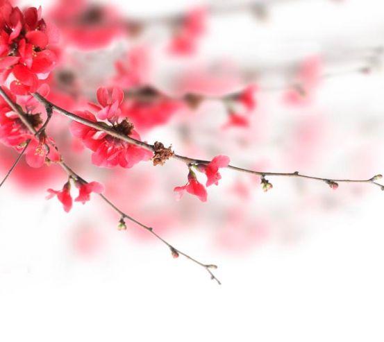 Фотообои Красное цветущее дерево 1369