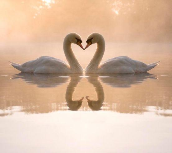Фотообои Пара лебедей 8543