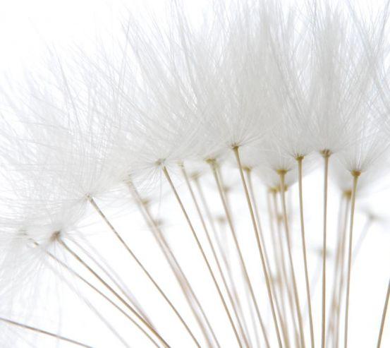 Фотообои белый одуванчик крупный 20318