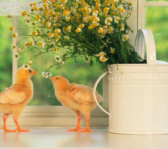 Фотообои Два цыпленка 0442