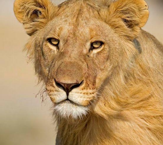 Фотообои Мечтающая львица 1174