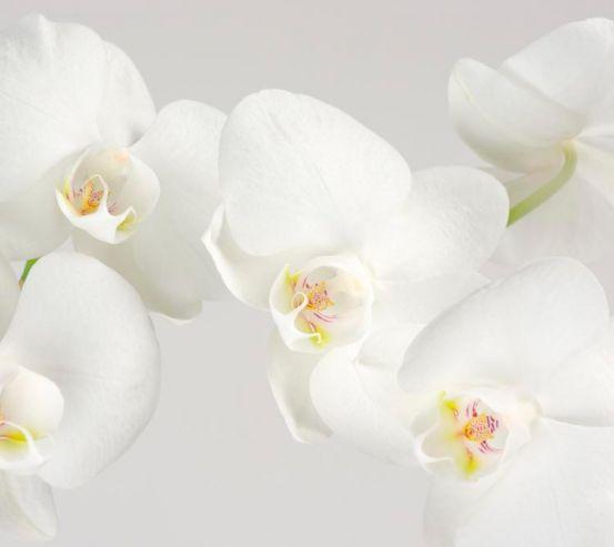 Фотообои Орхидеи белоснежные цветут 7430