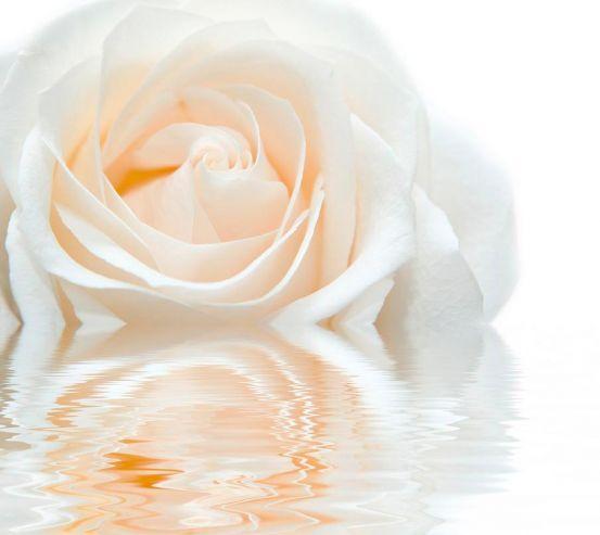 Фотообои Бело-кремовая роза 8630
