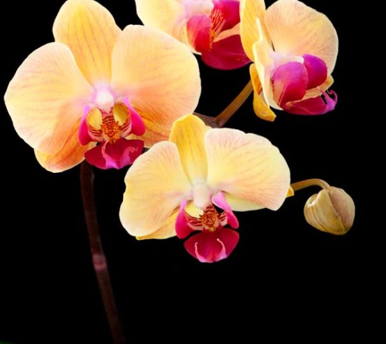 Фотообои Кремово-бежевые орхидеи 6485