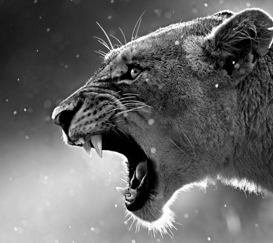 Фотообои львица 21293-h